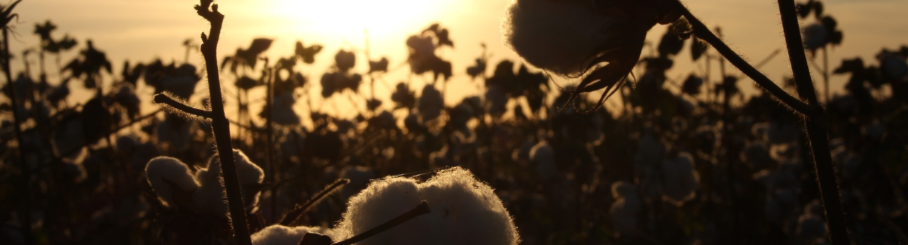 Pam Backlund is blessed to live near cotton fields.